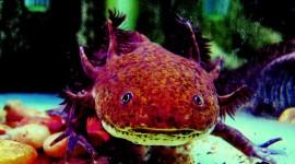 Axolotl Photo Free