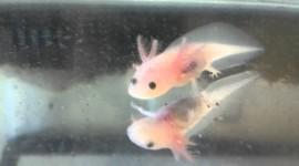 Axolotl Wallpaper 1080p