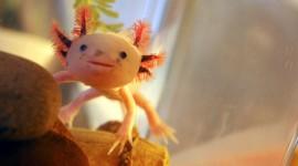 Axolotl Wallpaper Download