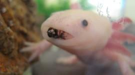Axolotl Wallpaper Free