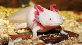 Axolotl Wallpaper Full HD