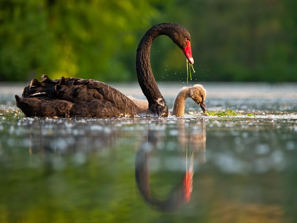 Black Swan Wallpapers HD