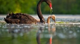 Black Swan Best Wallpaper