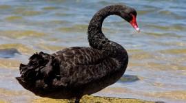 Black Swan Desktop Wallpaper#1