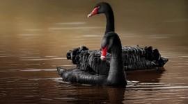 Black Swan Photo Free