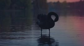 Black Swan Photo Free#1