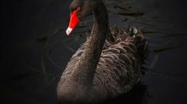 Black Swan Wallpaper For Desktop