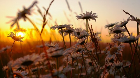 Chamomile Fields wallpapers high quality