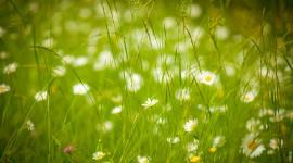 Chamomile Fields Photo