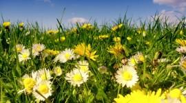 Chamomile Fields Photo Download