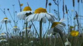 Chamomile Fields Wallpaper For Android