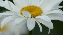 Chamomile Fields Wallpaper For IPhone