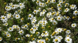 Chamomile Fields Wallpaper For PC