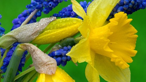 Daffodils wallpapers high quality
