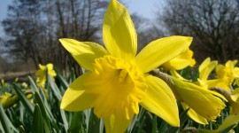 Daffodils Photo Download