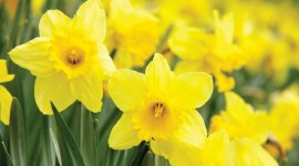 Daffodils Wallpaper Download Free