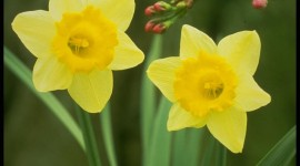 Daffodils Wallpaper For IPhone