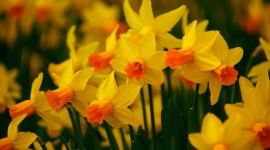 Daffodils Wallpaper For PC