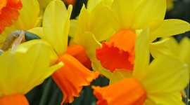 Daffodils Wallpaper Gallery