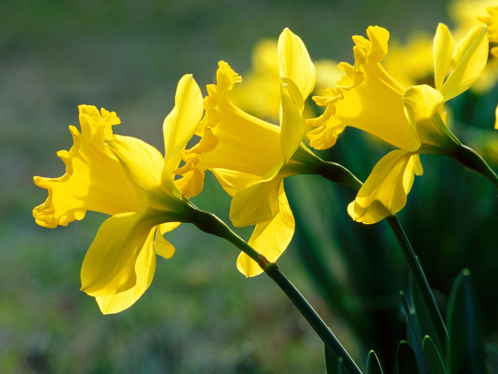 daffodils wallpapers high quality | download free