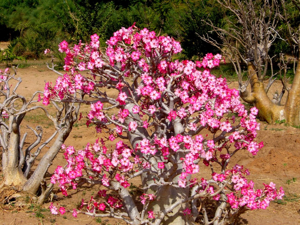 Desert Roses wallpapers HD