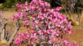 Desert Roses Best Wallpaper