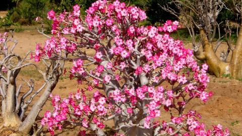 Desert Roses wallpapers high quality