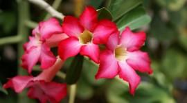 Desert Roses Desktop Wallpaper HD