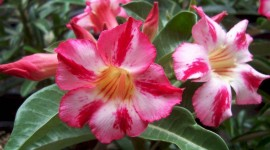 Desert Roses Desktop Wallpaper HD#1