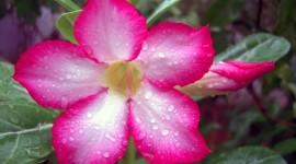 Desert Roses Photo
