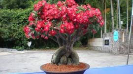 Desert Roses Photo Download