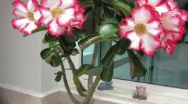 Desert Roses Wallpaper For Mobile