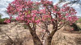 Desert Roses Wallpaper Free