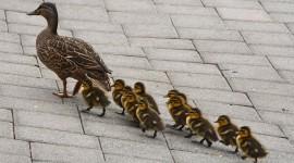 Ducklings Best Wallpaper