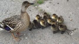 Ducklings Desktop Wallpaper