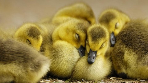 Ducklings wallpapers high quality