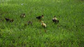 Ducklings Desktop Wallpaper HQ