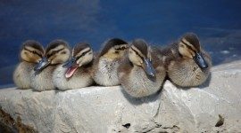Ducklings Wallpaper Download Free