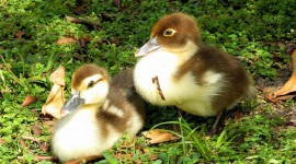 Ducklings Wallpaper Free