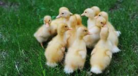 Ducklings Wallpaper Full HD