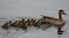 Ducklings Wallpaper Gallery