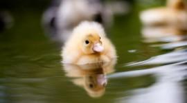 Ducklings Wallpaper HD