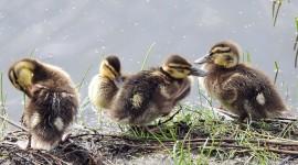 Ducklings Wallpaper High Definition