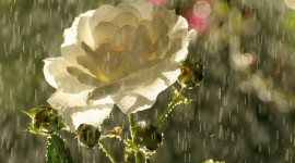 Flowers In The Rain Photo Download#1