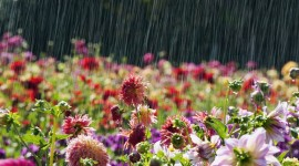 Flowers In The Rain Wallpaper For PC