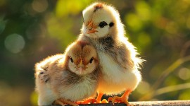 Funny Chickens Photo Download