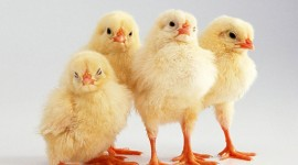 Funny Chickens Photo Free