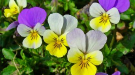 Heartsease Desktop Wallpaper For PC