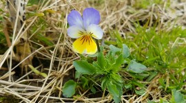 Heartsease Desktop Wallpaper HD