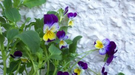 Heartsease Photo